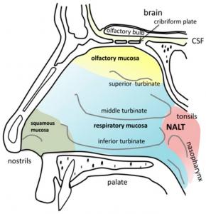 nasal cavity